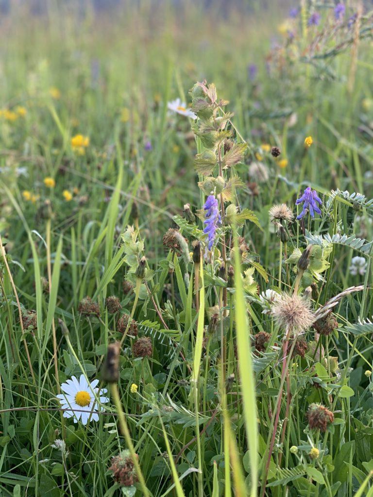 Łąki kwietne Śląsk